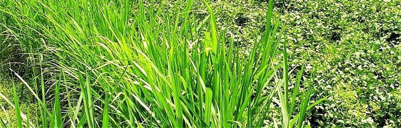 Apa itu Spirulina rumput ajaib dan Manfaatnya di Jakarta?