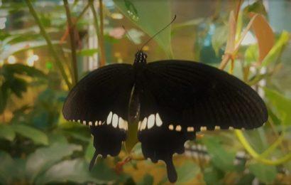 The butterfly effect !! Kupu kupu di Changi airport Singapura May 2018